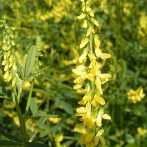 Trigonella altissima (Thuill.) Coulot & Rabaute (Grand Mélilot)