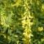 Jean-Claude Calais - Trigonella altissima (Thuill.) Coulot & Rabaute [2013]