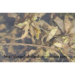 Potamogeton alpinus Balb. (Potamot des Alpes)