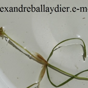 Photographie n°208719 du taxon Potamogeton berchtoldii