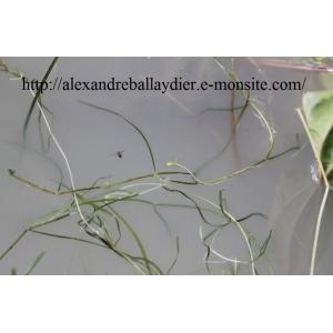 Zannichellia obtusifolia Talavera, García-Mur. & H.Smit (Zannichellie à feuilles obtuses)