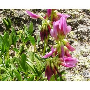 Trifolium alpinum L. var. alpinum