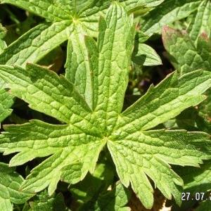 - Geranium sylvaticum L. [1753]
