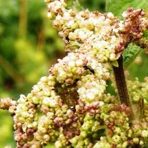 - Urtica dioica subsp. dioica