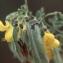 Liliane Roubaudi - Cytisus villosus Pourr. [1788]