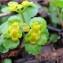 Hugues TINGUY - Chrysosplenium alternifolium