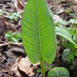 Photographie n°208856 du taxon Polygonum bistorta