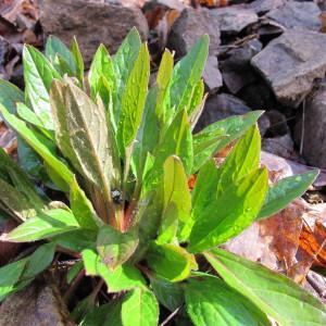 - Cynoglossum germanicum subsp. germanicum