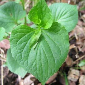 Viola mirabilis L. (Violette admirable)