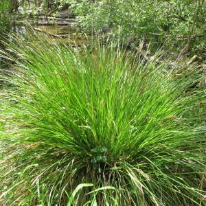 Photographie n°208911 du taxon Carex paniculata