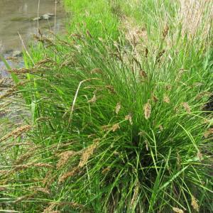 Photographie n°208913 du taxon Carex paniculata