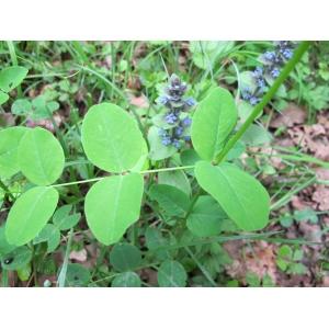 Vicia pisiformis L. (Vesce à feuilles de pois)
