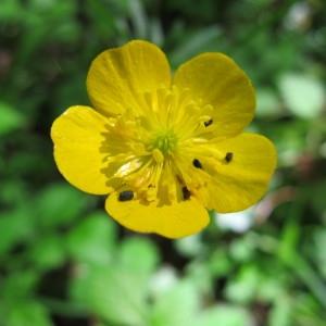 Ranunculus mixtus Jord. (Renoncule des bois)