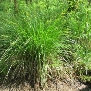 Photographie n°208950 du taxon Carex elongata