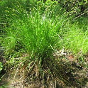 - Carex elongata