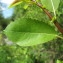 Hugues Tinguy - Salix triandra L. [1753]