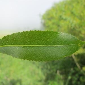 Photographie n°208958 du taxon Salix triandra