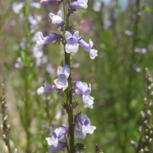 Photographie n°208973 du taxon Anarrhinum bellidifolium