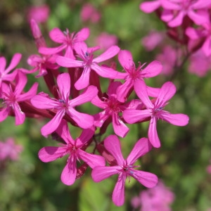 Lychnis armoracia Scop. (Silène à bouquets)