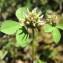Hugues Tinguy - Trifolium glomeratum L. [1753]