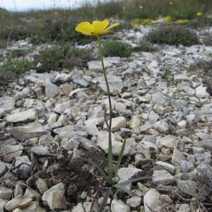- Ranunculus gramineus L. [1753]