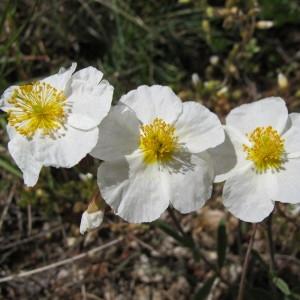 Photographie n°209019 du taxon Helianthemum apenninum subsp. apenninum