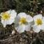 Hugues Tinguy - Helianthemum apenninum subsp. apenninum