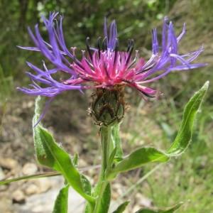 Cyanus triumfettii (All.) Dostál ex Á.Löve & D.Löve (Bleuet vivace)