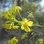 Hugues TINGUY - Brassica elongata
