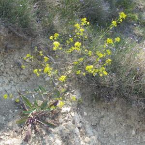 Photographie n°209050 du taxon Brassica elongata Ehrh. [1792]