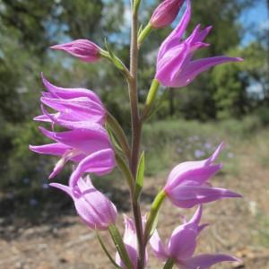Photographie n°209060 du taxon Cephalanthera rubra (L.) Rich. [1817]