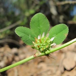 - Trifolium glomeratum L. [1753]