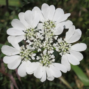 Orlaya grandiflora (L.) Hoffm. (Caucalis à grandes fleurs)