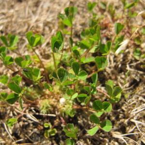 Trifolium suffocatum L. [1771] (Trèfle étranglé)