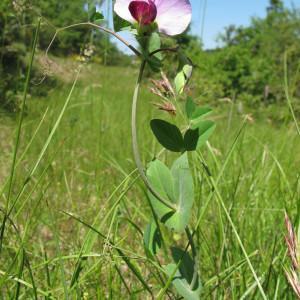 - Pisum sativum subsp. biflorum (Raf.) Soldano [1992]