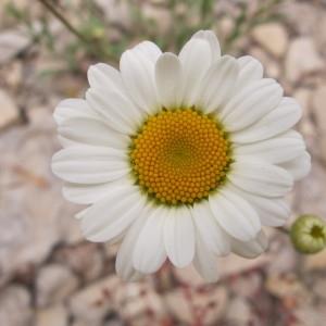 Leucanthemum pallens (J.Gay ex Perreym.) DC. (Marguerite pâle)
