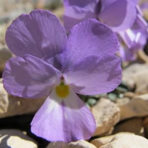 Viola cenisia L. (Pensée du mont Cenis)