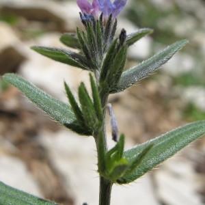 Buglossoides incrassata (Guss.) I.M.Johnst. (Grémil à pédicelles épais)