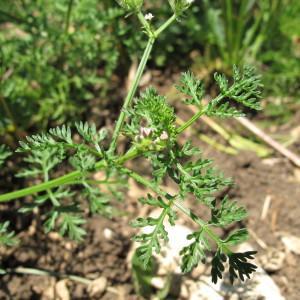 Photographie n°209227 du taxon Caucalis platycarpos