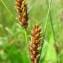 Hugues TINGUY - Carex lasiocarpa