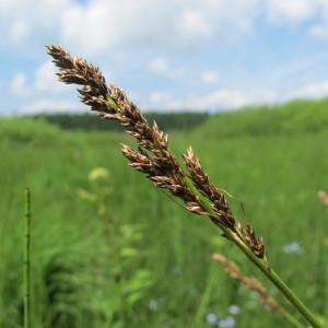 Photographie n°209266 du taxon Carex diandra