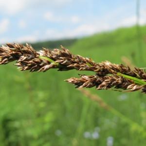 Photographie n°209267 du taxon Carex diandra
