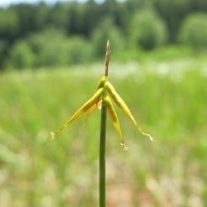 Carex pauciflora Lightf. (Laiche pauciflore)