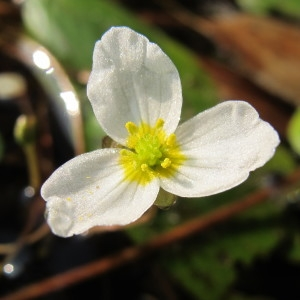 Luronium natans (L.) Raf. (Alisma nageante)