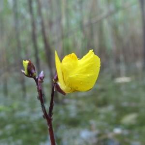 Utricularia vulgaris L. (Utriculaire commune)