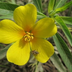 Ludwigia grandiflora (Michx.) Greuter & Burdet (Ludwigie à grandes fleurs)