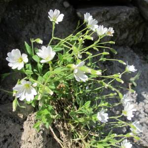 - Cerastium alpinum L. [1753]