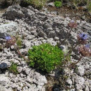 Photographie n°209367 du taxon Jasione crispa subsp. arvernensis Tutin [1973]