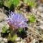 Hugues Tinguy - Jasione crispa subsp. arvernensis Tutin [1973]