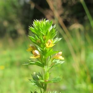 Euphrasia minima Jacq. ex DC. (Petite Euphraise)